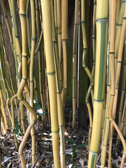 These three are of Phyllostachys aureosulcata 'Spectabilis', a 'reverse' form of the Yellow Crook Stem Bamboo...reversed because in this form the sulcus, the groove, is green while the rest of the internode is yellow.