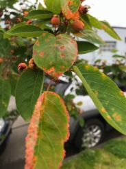 This is a street tree planted elsewhere in inner SE. It may be 'Autumn Brilliance' or another variety, but there are several of them planted here, all with heavy Rust and twisted branching.