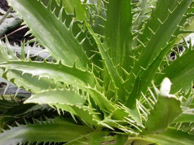 Eryngium agavifolium DSCN2441