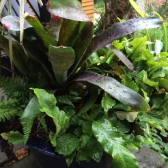 I really like the substance of this Pyrrosia lingua, a Fern, with this Neoregelia.