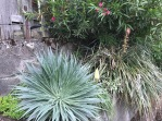 Here you see my Puya dyckioides hunkered in beneath my Oleander nerium 'Hardy Red' with its first flower scape up. It looks a little unkempt as i have not yet 'combed' it out with gloved hands to pull away old dead rosettes. They pull away freely, but the task can still be a little rough. That's my Echium wildprettii which wintered over unscathed at left in the foreground.