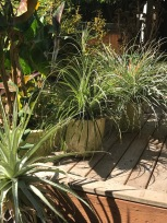 Puya mirabilis is one of the grassier looking, narrow leaved Puyas. That is Puya chilensis in the left foreground and Fascicularia bicolor, background right.