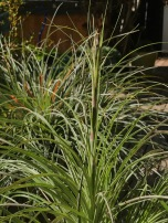 This pic of my plant shows the overall texture of this Puya and its relatively minute 'barbs'.
