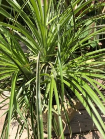Here you can see how open this Puya mirabilis is. I haven't done it yet, but it looks like it should be relatively easy to divide. Many in the family are very congested.