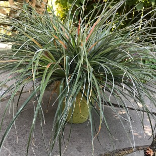 """Fascicularia bicolor ssp. caniculata 'Spinner's Form""""...or, whatever. This plant bulked up quickly with half a dozen rosettes crowded together."""