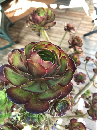 People walk by my garden all of the time and these Aeonium catch their eye. One woman called it that 'rose' looking plant. I've since acquired more of these and I'm slowly learning that none of them really like our full afternoon sun here.