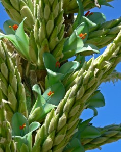 Each bud will open over time giving a long season of bloom.