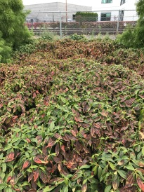 A typical Orange Line mass planting of Viburnum davidii, a native of summer wet woodland areas in China and Japan, the opposite of this site. The plantings block the irrigation heads making coverage impossible, but even the perimeter plants, close to the heads, are stressed and burned.