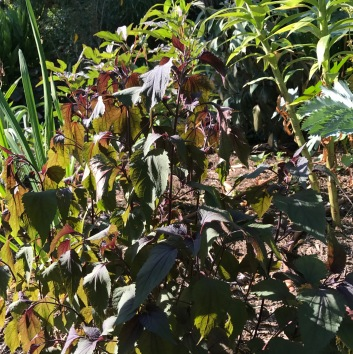 Eupatorium altissima 'Chocolate'. Afternoon sun and all wilted. This isn't a surprise. The surprise was how hard it took our last winter as this is rated as a zn4 plant. Over half of my clump failed to return and the rest has come back weakly. Now the heat and this wilting!!!
