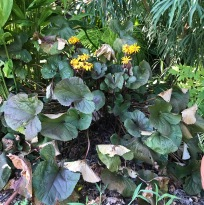 Ligularia 'Britt Marie Crawford', is not drought tolerant. Here it shows some of the stems and leaves flagging or crispy. It's plant neighbors give it some protection, but also are likely competing with it for water. I still like this plant a lot.