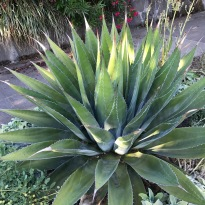 Agave montana. This one has been very durable for me over the last 18? years. Like all Agave it wants winter/dry conditions, tough here, with occasional summer wet, which I provide with drip tubing.