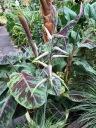 The big paddled 'bloody' blades of my Musa acuminata 'Zebrina'.