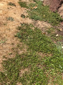 This lawn really does demonstrate that under stress the weedy invaders are determined by the plants and seeds already on the site. The green mat here is Small Leaf Wire Vine, Muhlenbeckia axillaris, probably planted by the owners in the adjacent bed, now demonstrating its vigor and drought tolerance.