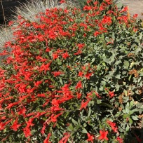 My favorite California Fuchsia, I'm still calling Zauschneria septentrionalis 'Select Mattole'. This makes a magnificent ground cover in full sun, xeric, landscapes. Its recent shift to genus Epilobium speaks to its 'weedy' nature, or rather its ability to move. While it does spread I haven't seen this or any other selection seed around here. So, yes it will move where it wants so like most any rhizomatous plant you should pay attention to what you plant it next to.