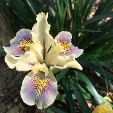 This is a fortuitous cross that resulted from a planting I made a few years ago. I'd planted Iris douglasiana and Iris x pacifica 'Big Money' near each other and found this offspring in-between! I dug this plant and divided it into 7 one gallon pots, passing some on.