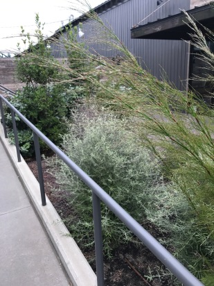 Sean is never shy in his use of southern hemisphere plants nor of mixing them with northern cousins. The Rhodocoma again here with Pittosporum and Eleagnus in a bed that emphasizes and plays off silvery foliage.