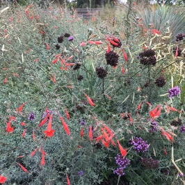 I love this! I don't know which Zauschneria this is, but the interplay with its gray foliage, the purple and dark brown seed heads is...spectacular.