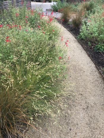 The red flowers of this Salvia float above the foliage here along with the flowerhead of the Bouteloua gracilis 'Blonde Ambition', again.