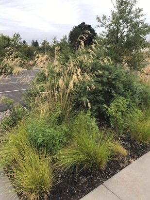 Moving back into the parking lot plantings, would that all parking lots be planted so richly with plants able to celebrate in the light and heat that so often bakes typical such landscapes. Here the Stipa has room to gracefully arch while the Ceanothus and the Oak provide presence and help 'guide' pedestrians through the parking lot to the garden entrances, event space and tasting room.
