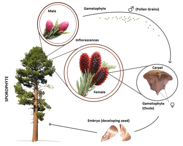 Gymnosperm_life_cycle_(en)