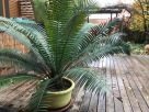 Dioon spinulosum. The caudex at the base will begin to form a trunk once it reaches a mature caliper much as do Palms which are members of the Monocots.
