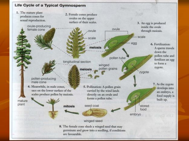 Gymnosperm reproduction