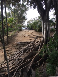 This Fig, Ficus microphyllus I believe, photographed in the Palm Garden in San Diego's Balboa Park with its massive buttressing roots.