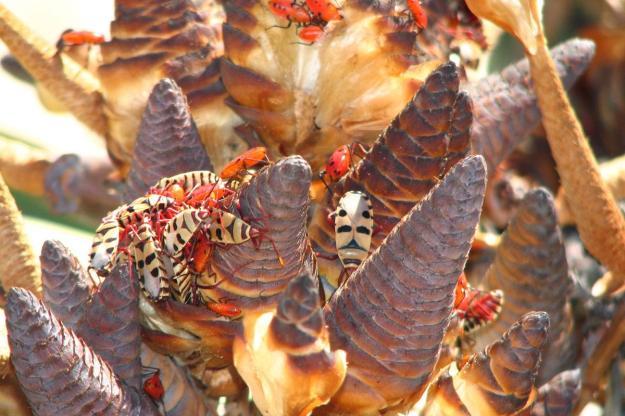 Welwitschia03