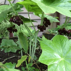 Podophyllum pleianthum blooming, clusters of stinky, dark burgandy flowers hanging below the leaves. All of the above ground structure 'melts' away in the Fall.