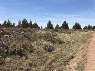 Here a crew has come through in the last week or so cutting Juniper, to reduce its impact on the surrounding shrubs and grass. Many species have a vey limited tolerance for mature stands of Juniper and the decision has been made to reduce the Juniper in terms of its density and maturity.