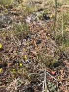 Here, near the center of the photo, is alone Lithophragma, a Prairie Star amidst a loose group of Gold Stars, Crocidium multicaule. These seem to be more dwarfed by their conditions than to specimen I recall from the Columbia Gorge.