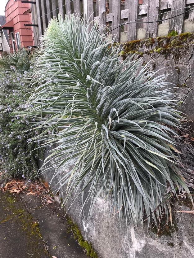 Echium wildprettii