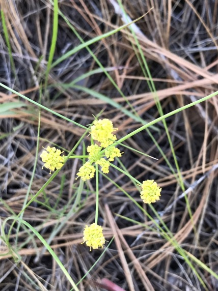 I'm not sure which Lomatium this is, there are likely several here. Some of these, commonly called biscuit root, were harvested for their edible tubers by native peoples.
