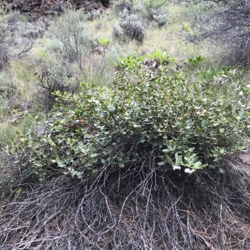 An older Snowbrush plant with younger growth topping older dead stems. This plant is a member of the Pine community requiring a little more water than the arid plants of the Sagebrush Steppe.