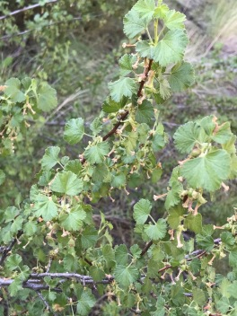 Ribes cereum, the native Wax Currant is common here. This is a desert denizen and can be found far away from any surface water.