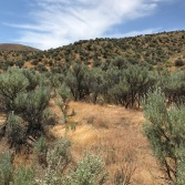 In the bright early afternoon sun the Sagebrush had a shimmering quality, appearing to float atop their dark stems and shadows above the ground.