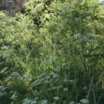 Poison Hemlock, Conium growing lushly along the river.