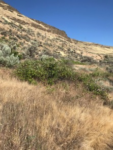 At this time of year the Blackberry upslope stands out from rest of the plant community up slope in the draws and seeps where water is abundant enough crowding out native vegetation.