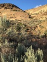 This dry gulley provides the needed moisture for the native Big Sagebrush to crowd out the grasses.