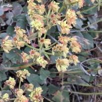 Eriogonum with fading flowers