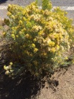 A very common member of the Columbia Plateau Steppe region, the late blooming Rubber or Gray Rabbit Brush, Ericameria nauseosa, an allergen and bane to my wife, that blooms, paradoxically, at the end of summer into October.