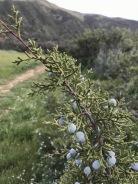 Juniperus californica, California juniper, a hillside dweller, less common lower down, a smaller, rounder, more compact Juniper than Juniperus occidentalis in Oregon, Carrizo Plain
