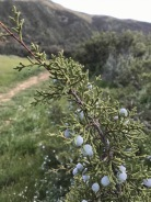 Juniperus californica, California juniper, a hillside dweller, less common lower down, a smaller, rounder, more compact Juniper than Juniperus occidentalis in Oregon, Carrizo Plain