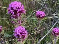 Castilleja exserta, Purple Owl's Clover, annual, found widely on the hills, Carrizo Plain