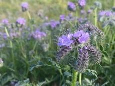 Phacelia tanacetafolia. We only saw this species on the hills. P. ciliata was down on the flat bottomland.