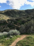 This was a very common scene in the hills in which sclerophyllous shrubs dominate, with Artemisia californica and Salvia leucophylla very common here, and we would find, over much of the arid parts of California, even near the drier coastal areas.