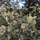 Quercus turbinella Grey oak, Shrub live oak, the leaves an inch or so. The leaves are very tough and leathery, all seem to have these spiny margins, not just the juvenile leaves.