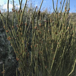 Ephedra californica, cones, above Shelby Campground, Carrizo Plain