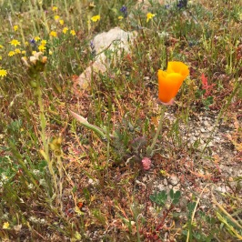 The flat plain of the Monument has very little to no Calfornia Poppy, Eschscholzia. What we saw on the hills were small and few, only just coming into bloom when we visited. This is very unlike the Antelope Valley to the east of the Temblors where they are a dominant element.