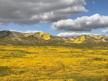 Fields of Yellow, much of which is Goldfields, Lasthenia californica , Elkhorn Rd., Carrizo Plain